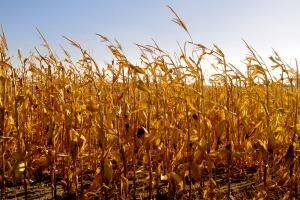 harvest_corn