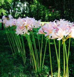 surprise.lilies2